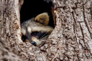 raccoon-in-tree-jill-bell